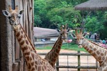 Giraffe Giraffa Camelopardalis...