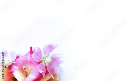 Cuadros en Lienzo Pink gladioli and pink mallow on a white background