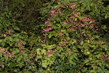 Bush With Pink Attractive Berr...