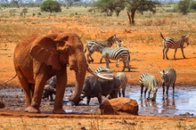 Herd Of Zebras With An Elephan...