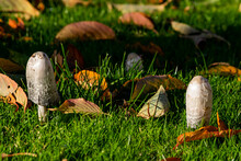 Shaggy Ink Cap Mushroom Coprinopsis Atramentaria Group Surrounded By Fallen Leafes, Moody Picture Showing Mushrooms Together In Warm Colors Of Sunny Autumn. Selective Focus With Shallow Depth Of Field