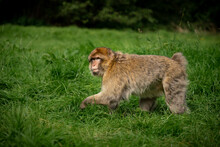 Barbary Macaque Monkey Walking...