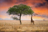 Fototapeta Sawanna - Wild giraffe reaching with long neck to eat from tall tree in African Savanna under dramatic, colorful sunset