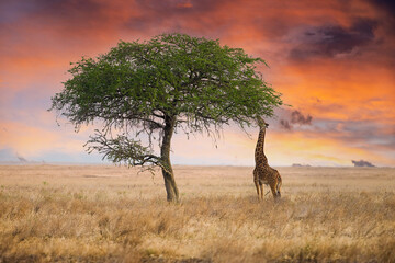 Wild giraffe reaching with long neck to eat from tall tree in African Savanna under dramatic, colorful sunset