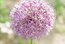 Purple Ornamental Garlic Flower On A Blurred Green Background.