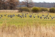 A Flock Of Sandhill Cranes And...