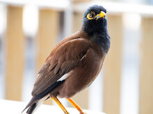 Indian Mynah Bird Standing On Chair In A Sydney Cafe