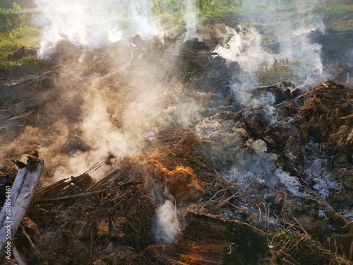 Fototapeta palm oil plantation slashed tree burning in smoke