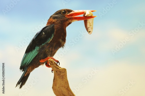 Fotografía A kingfisher (Halcyon cyanoventris) is eating a fish from its catch