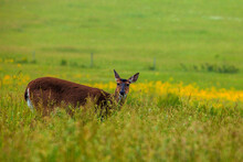 Deer In Cades Cove In The Great Smoky Mountains National Park