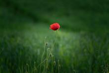 A Vignetted Summer Poppy Flower