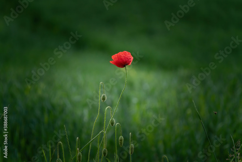 Fotografie, Obraz A vignetted summer poppy flower