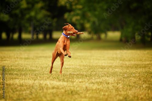 Fotografija Vizsla dog catches the stick, retrieving, having fun
