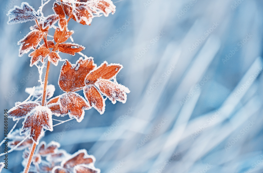 Fototapeta Branches of a shrub with yellow leaves covered with crystals of frost on a natural background of dry grass. Soft selective focus. A fresh frosty morning in late autumn or the first days of winter.