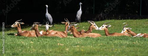 Dama gazelle, Gazella dama mhorr or mhorr gazelle is a species of gazelle Canvas Print