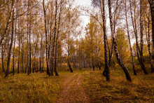 Autumn Birch Grove With Yellow...