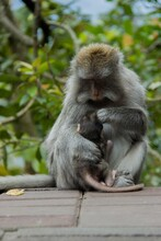 Monkey Mother Holding Her Chil...