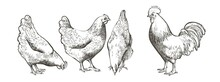 Chicken, Hen Bird. Poultry, Broiler, Farm Animal Feeding. Vintage Easter Card. Egg Packaging Design. Realistic Sketch, Line, Silhouette, Engraving Illustration.