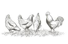 Chicken, Hen Bird. Poultry, Br...