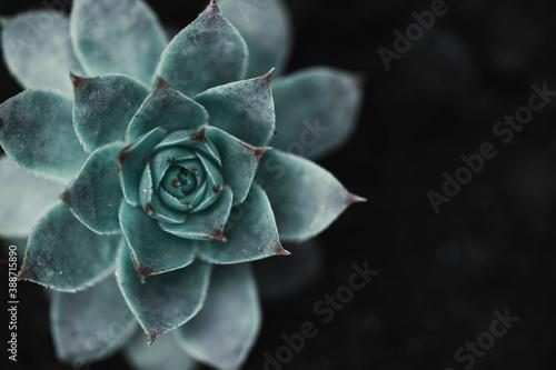 Succulent background Fototapet