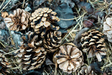 Pine Cones Fallen On The Ground In The Forest. Pine Tree Cones Background.