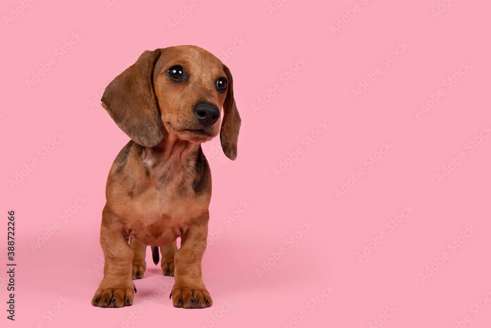 Leinwandbild Motiv - Elles Rijsdijk : Cute badger dog puppy standing looking away on a pink background with space for copy