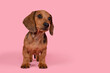 Leinwandbild Motiv Cute badger dog puppy standing looking away on a pink background with space for copy