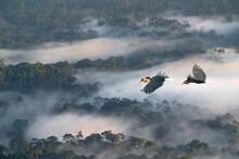 A Pair Of Hornbills Are Flying...