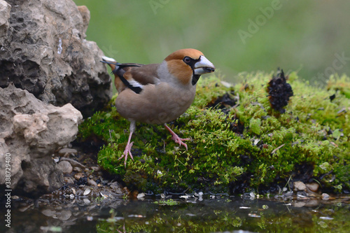Photo Male Hawfinch (Coccothraustes coccothraustes) in Sierra Morena (Spain)