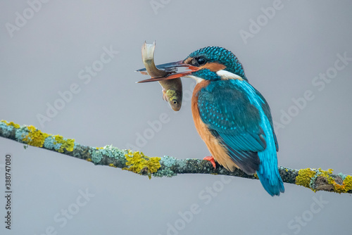 Kingfisher with a fish in its beak perched on a gray foggy branch background Fototapete