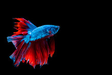 Betta Splendens Fighting Fish ...