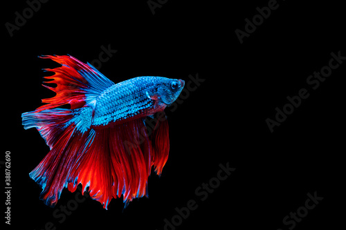 Valokuvatapetti Betta splendens fighting fish in Thailand on isolated black background