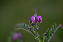 Photo Of Beautiful Common Vetch. Photo Taken In Photo Taken In Ireland. Co Louth
