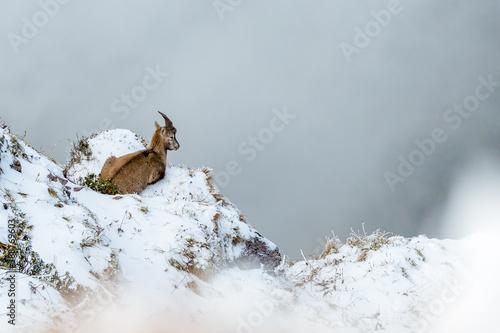 Tela young ibex at a steep ridge in snow in  Chablais Valaisan