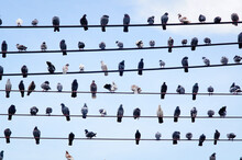 Pigeons On Electric Cable In B...
