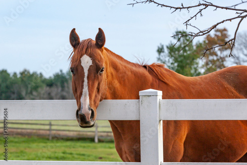 Fotografija A chestnut Thoroughbred horse with a white blaze looking over a white fence with trees and pasture in the background