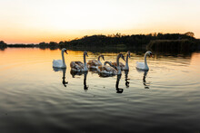 Swans On The Lake In Nature At...