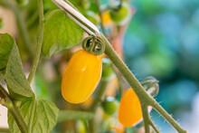 Fresh Lot Of Tomato Hanging  P...