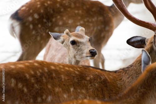 Papel de parede 群れの中の若鹿