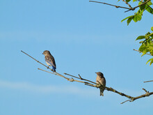 Two Young Male Eastern Bluebirds On A Tree Branch, One Looking At The Other Showing Off Blue Wing Feathers Against Blue Sky