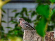 House Finch Bird Perched On Br...