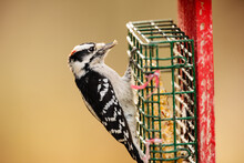 On An October Wisconsin Afternoon, A Downy Woodpecker Is Feeding On A Suet Feeder