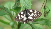 Melanargia Galathea,farfalla