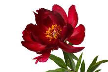 Dark Red Peony Flower Isolated...