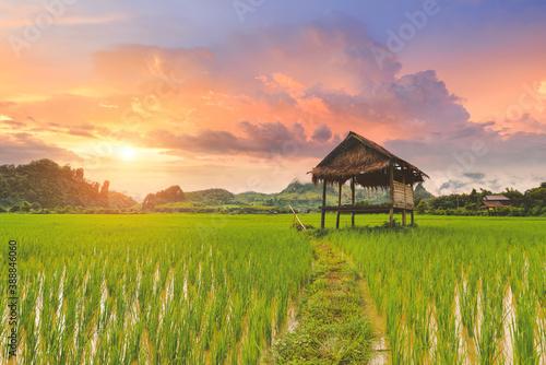 Fotografie, Obraz Rice paddy field lanscape with warm sky color.