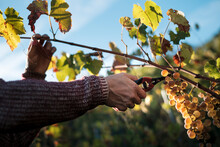 Cutting The Vine At The Vineyard
