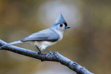 Tufted Titmouse, Baeolophus Bi...