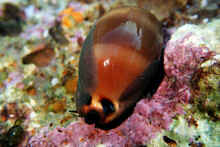 Mediterranean Sea Snail Shell ...