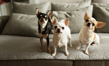 Three Little Chihuahuas Are On...