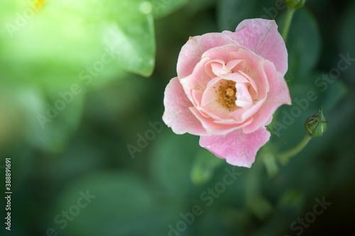 Cuadros en Lienzo Roses in the garden